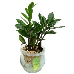 【花清枫】金钱树 如水自动浇水盆栽 适合办公室桌面摆放的盆景 招财