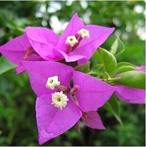 阳台庭院攀爬植物梅花【紫色三角梅】三叶梅盆栽花卉4