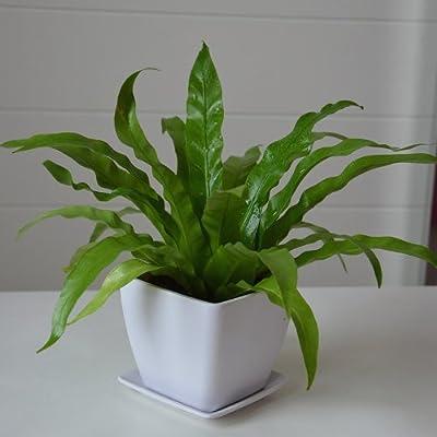 鸟巢蕨(窄叶) 室内 绿色盆栽植物 净化空气 美化环境