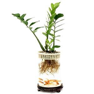 雨后花语 水培植物 金钱树 干净卫生 环保无污染 送海绵宝宝 不含容器