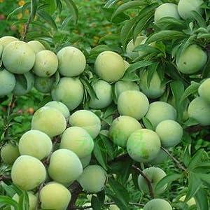 迎桂 庭院植物/果树苗/李子树苗/黑宝石李子苗/果大鲜