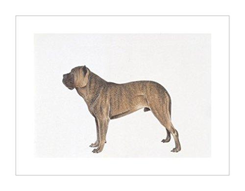 原版进口装饰画 西班牙斗牛犬,插图【spanish bulldog