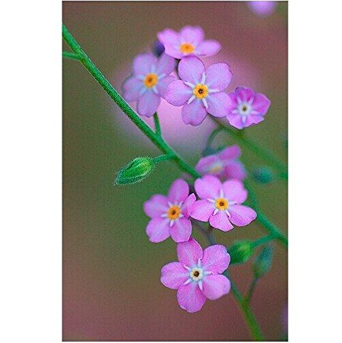 商品sprout 我要发芽 花卉种子 高山勿忘草种子 星辰花 不凋花 勿凋花