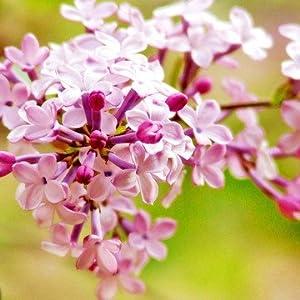 光一丁香花室内盆栽植物鲜花小型花卉醉丁香有什么副作用图片