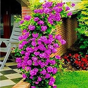 盆栽植物 藤本