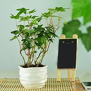 问一种盆栽植物的名字