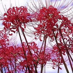迎桂 蓝色红色彼岸花种球种子 石蒜种球苗 曼珠沙华种子曼陀罗华种球
