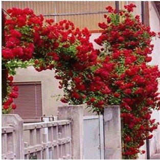 庭院绿化 盆栽植物花卉 藤本藤蔓月季蔷薇花苗 攀爬玫瑰花苗5年苗