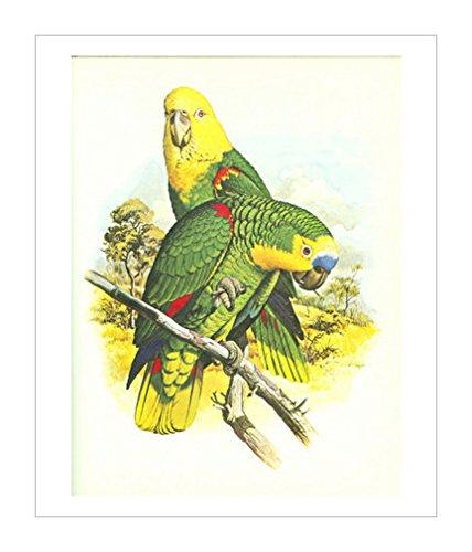 鹦鹉装饰画|鹦鹉|异域鸟类|鸟类装饰画|鸟艺术|鸟类相关分类|野生动物