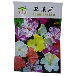 茉莉花吉他谱子简版-花卉种子 草茉莉 种子 紫茉莉
