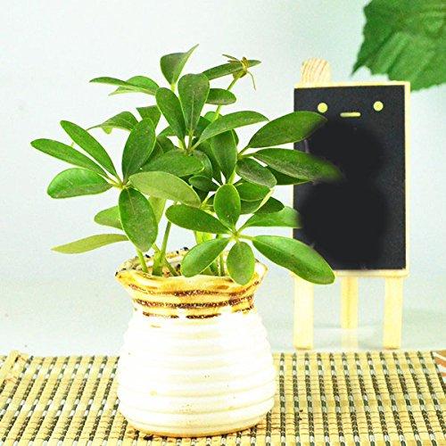 豁新 鸭脚木苗 观叶植物 室内盆栽 鹅掌柴 小植物 吸尼古丁 流釉浪边