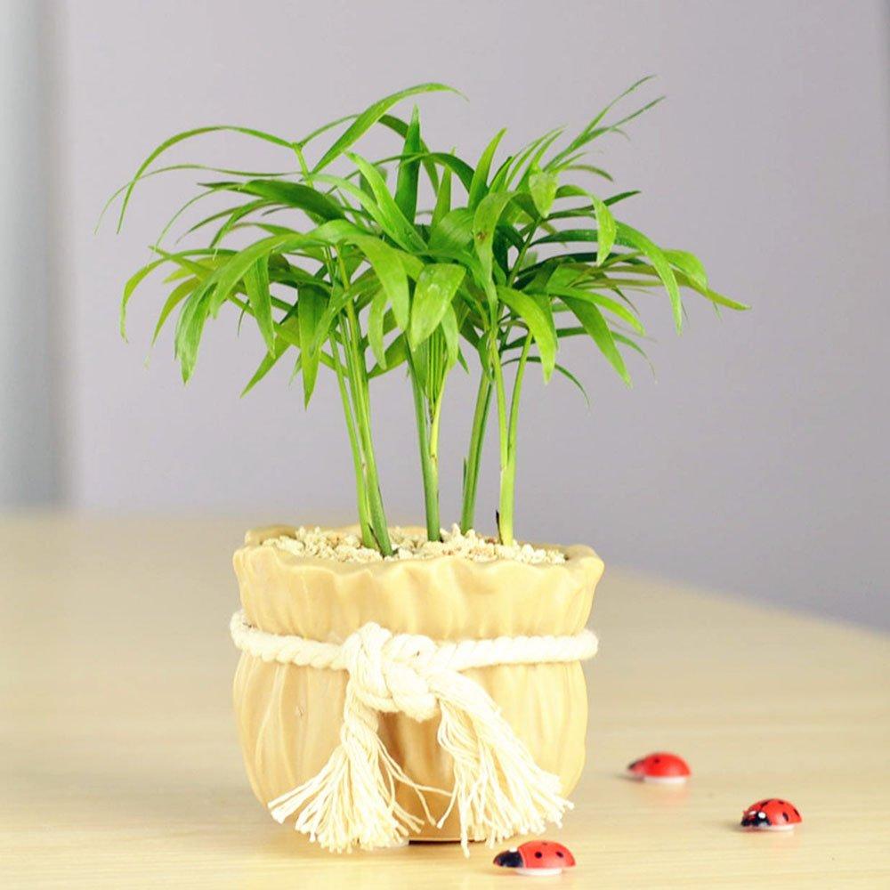 袖珍椰子盆栽 小植物