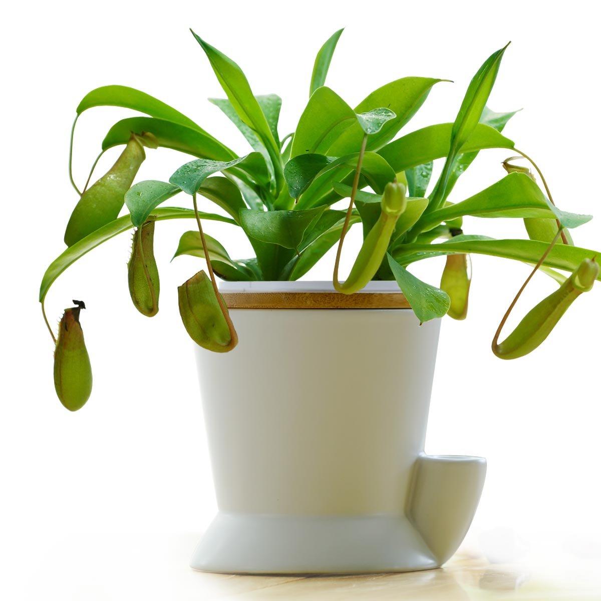 如水猪笼草盆栽水培植物 办公室水培植物整套含盆【活力棉土斗壶盆】