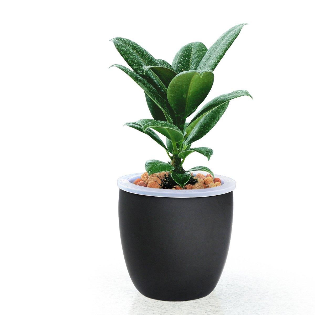 【花清枫】如水黑金刚盆栽,容易养,好成活 也名橡皮树