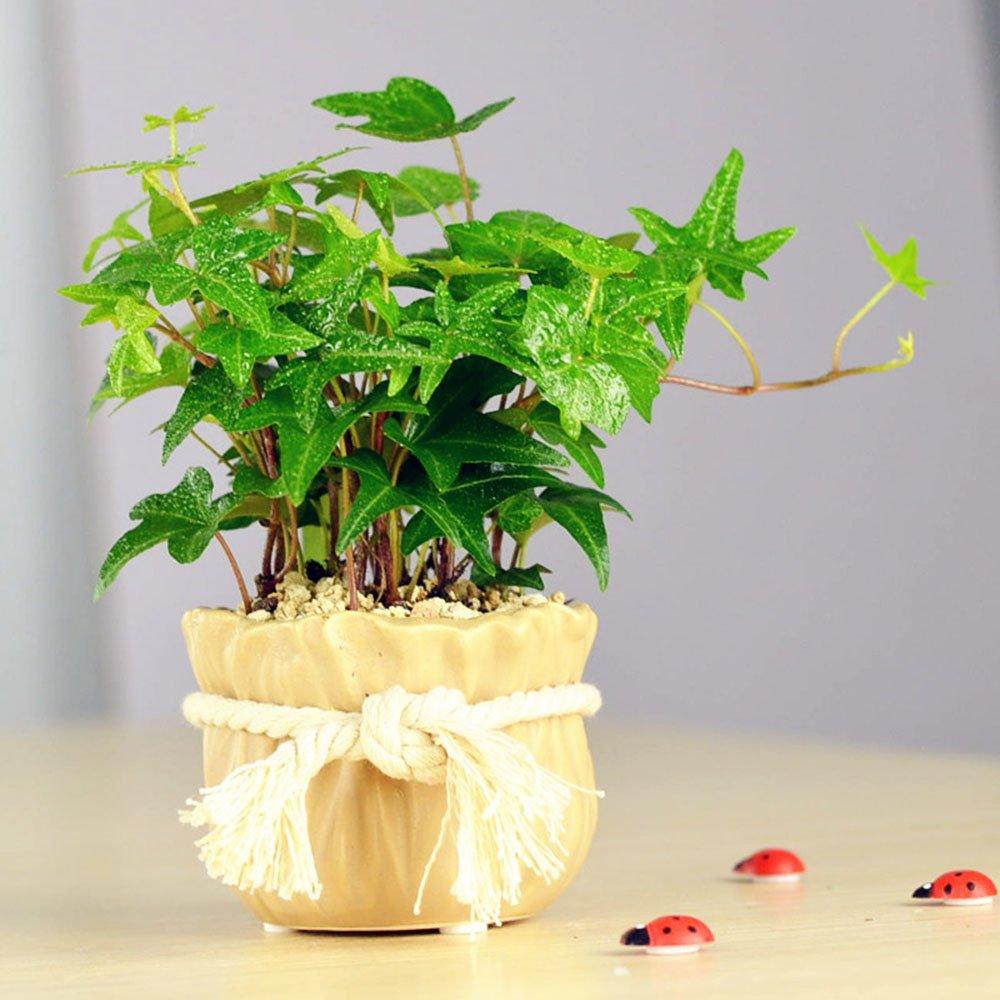 豁新 上架 细青叶常春藤 盆栽 常青藤 观叶植物 套装栽好 棉绳盆 带