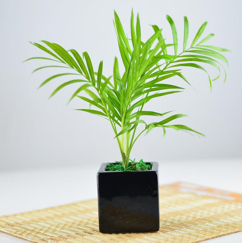 袖珍椰子 盆栽 方盆套装