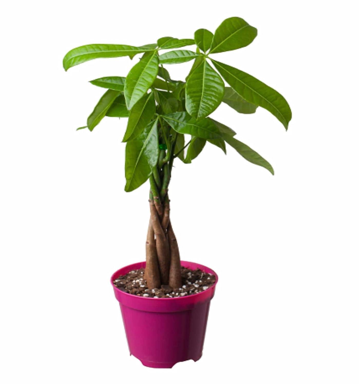 虹越 花彩 发财树(编辫造型) 招财旺财 盆栽绿植 风水