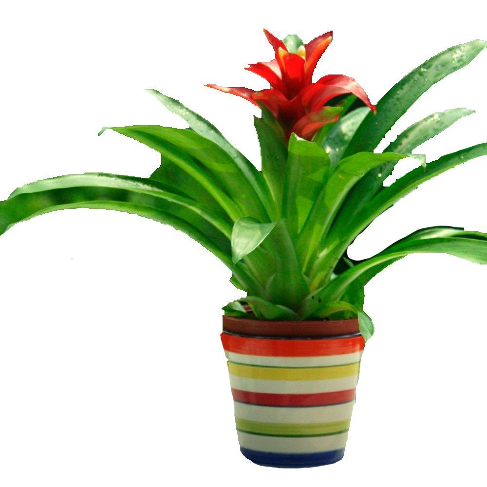 凤梨花小红星心 菠萝花水塔花鸿运当头创意花卉盆栽绿植物防辐射