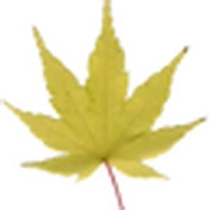 枫叶飘落动态壁纸