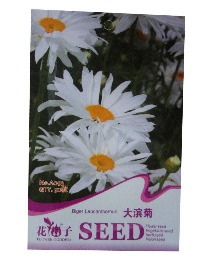 大滨菊种子 草花种子