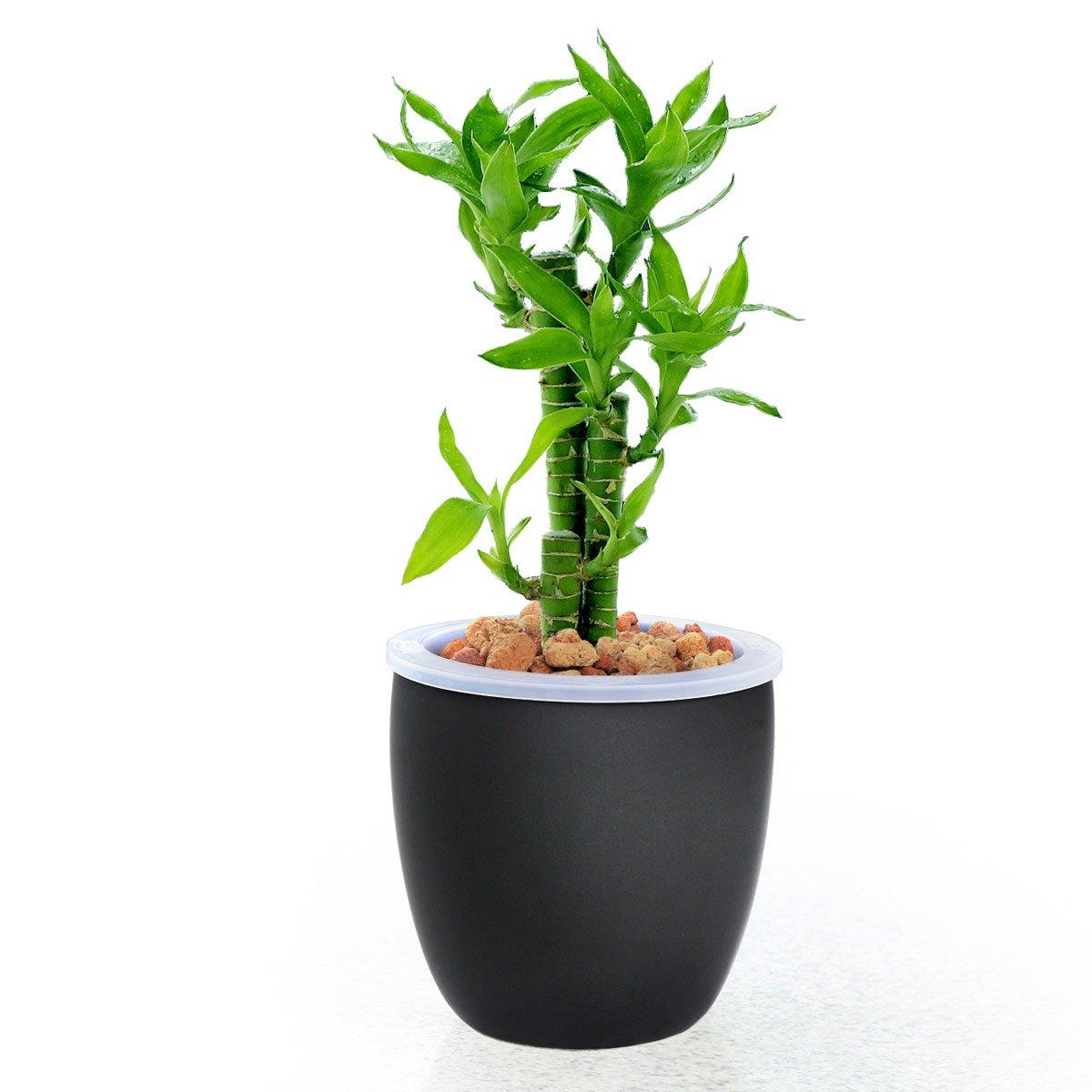 【花清枫】如水荷花富贵竹盆栽,容易养,好成活 寓意花开富贵 水养植物图片