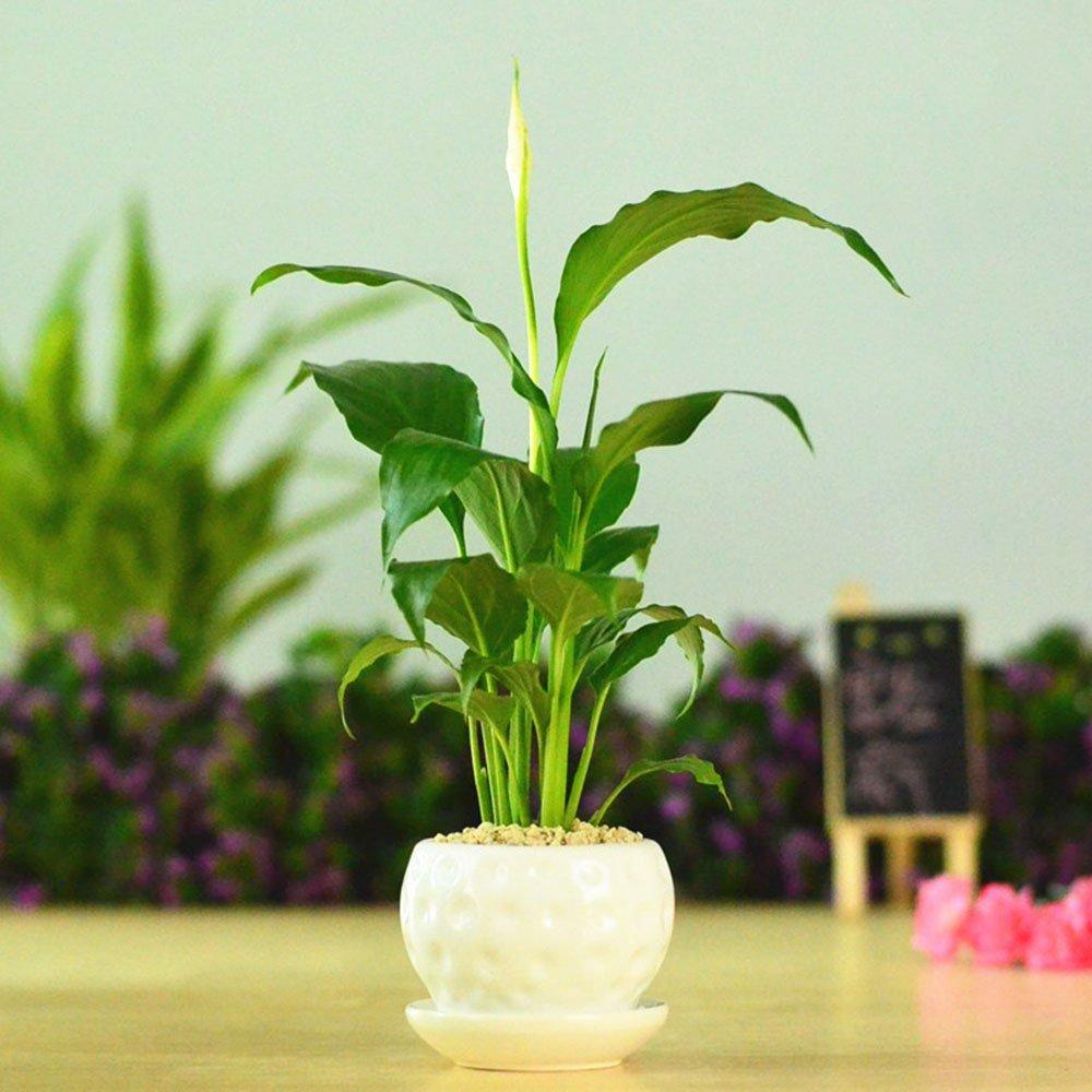 豁新 一帆顺风 白掌盆栽 室内观叶植物 小盆栽绿植 栽