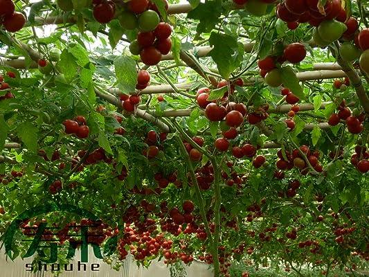 寿光菜博会专用品种 番茄树种子 央视特别报道 产量可达8000果/棵