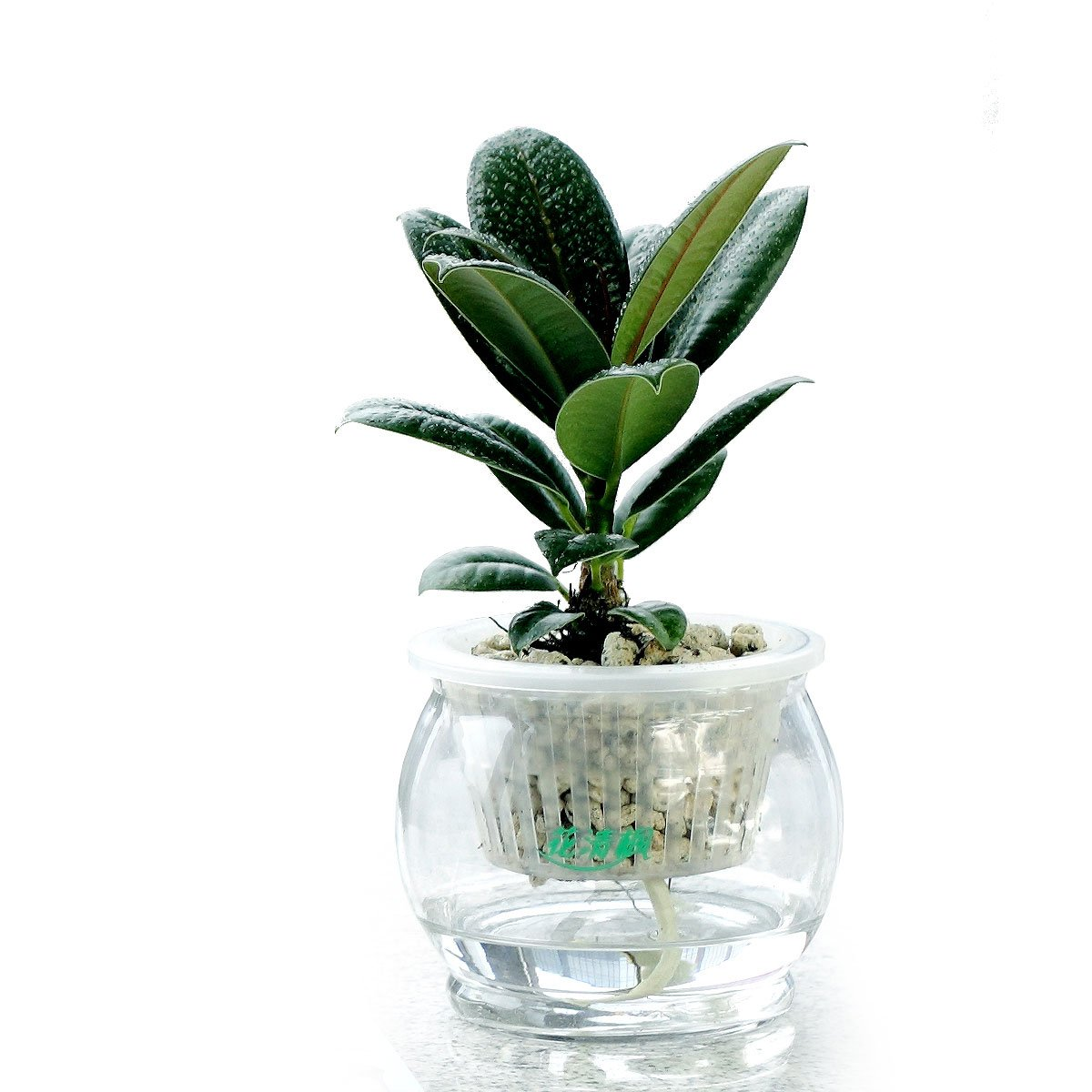 容易养,好成活 也名橡皮树 叶色黑绿 独具个性 水培整套 (晶莹玻璃盆