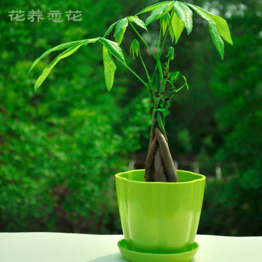 发财树 直杆辫子发财树 绿植物盆栽小型盆栽植物象征发财吉利植物