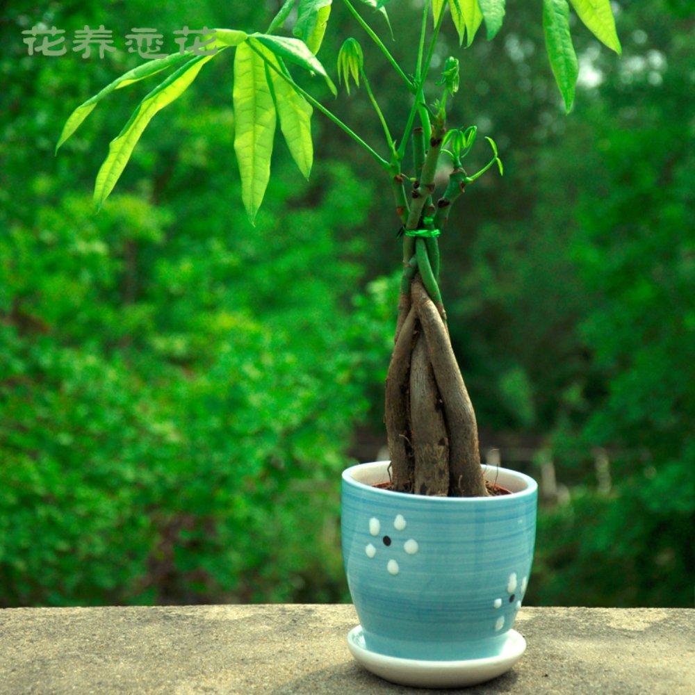 直杆辫子发财树 绿植物盆栽小型盆栽植物象征发财吉利植物 (直杆 蓝