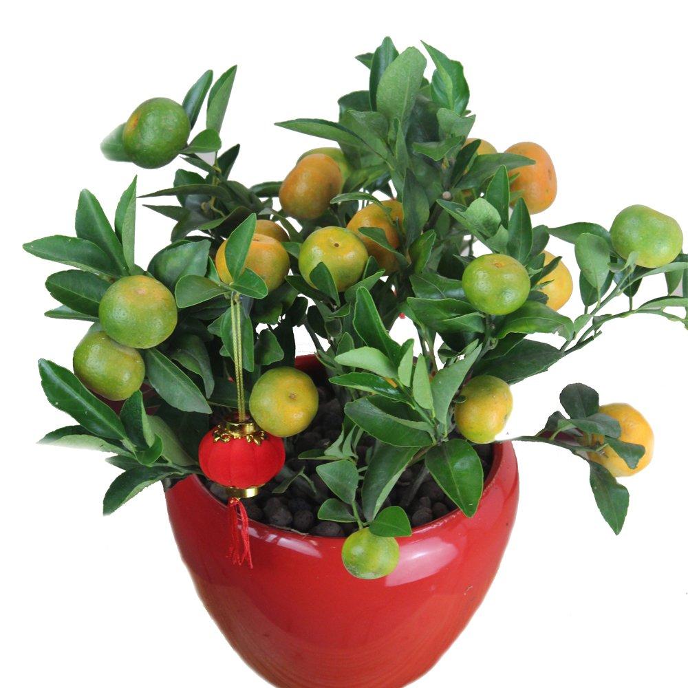 沁芳园 黄金橘 黄金桔 桌面盆栽植物 年宵花卉 送礼精品