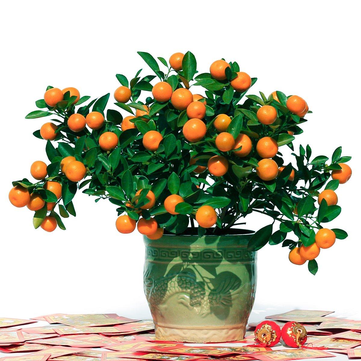 年宵花卉小盆四季桔 年桔盆景花卉 新年送礼佳品 恭祝新年大吉大利图片